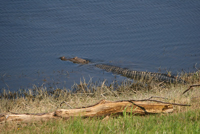 Mississippi alligators and other southern creatures. Be careful!