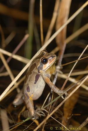 Ornate Chorus Frog (Pseudacris ornata), Barnwell County, SC