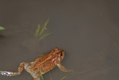 Southern Toad, Bufo terrestris, Allendale county, SC