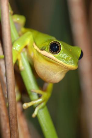 Green Treefrog, Hyla cinerea, Allendale county, SC