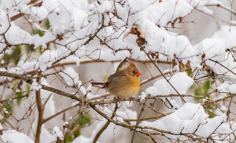 Cardinal Female in Snow_L8A4779-1