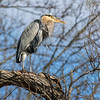 02_Great Blue Heron_64A9622_2