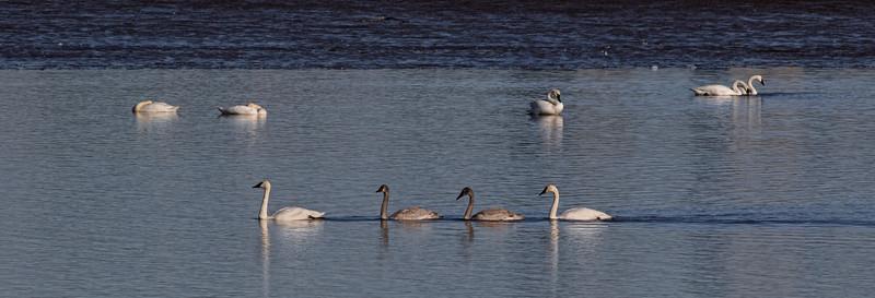 Trumpter Swan Family_B1A3531-1