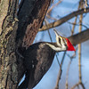 Pileated Woodpecker_MG_2597-1_crop_2