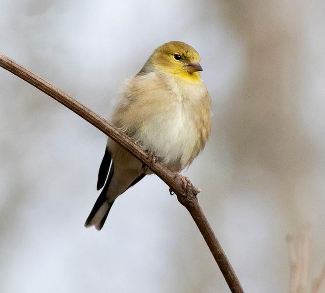 Goldfinch Immature_L8A4102