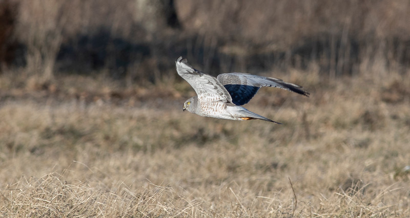 Northern Harrier_L8A3761-2