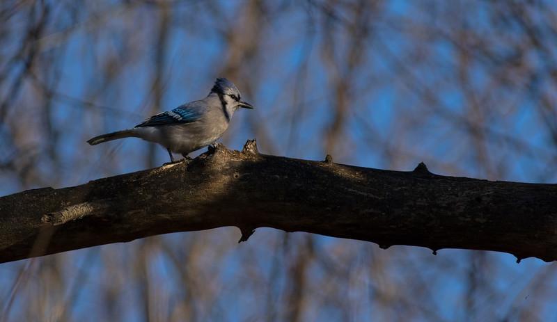 Blue Jay_64A6162