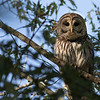 Barred Owl_64A8645