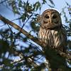 Barred Owl_64A8645