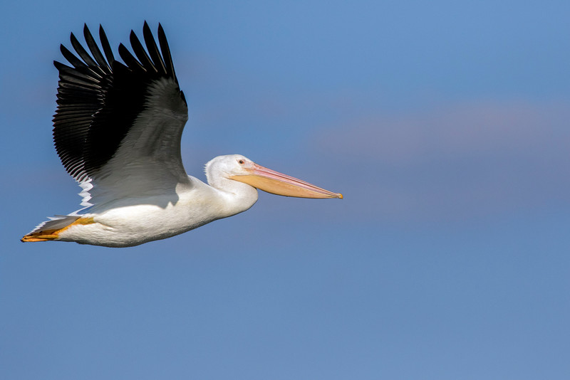 Pelican in Flight_64A7186-1-2