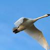 Trumpeter Swan_2