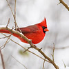 Cardinal in Snow_L8A4580-1