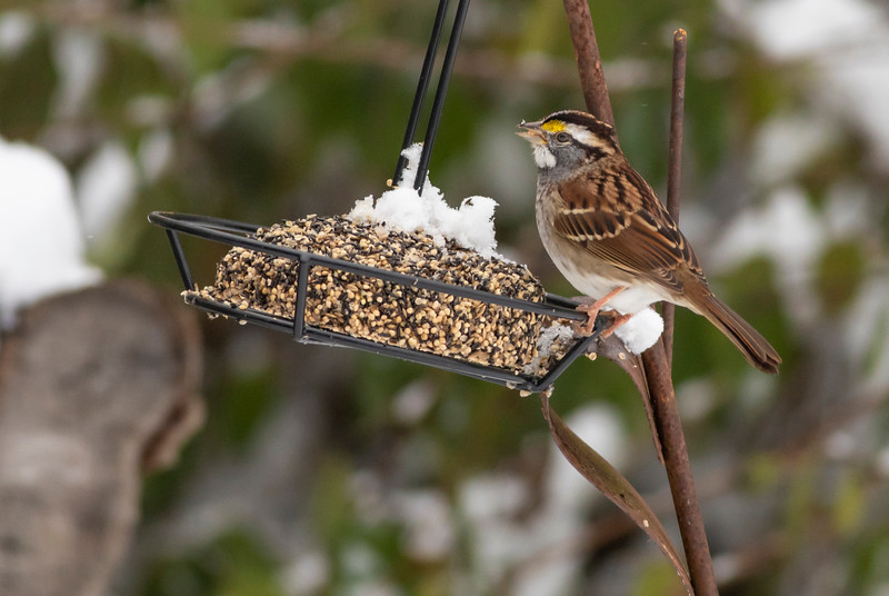 White Throated Sparrow in Snow_L8A4529-1