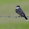 025_Eastern Kingbird_B1A8591