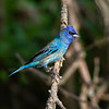 027_Indigo Bunting_Young Male_B1A8639