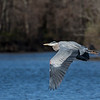 01_Great Blue Heron_64A9565