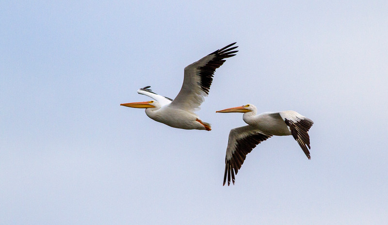 American White Pelicans_2