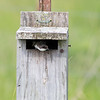 023_Tree Swallow Baby_L8A1741