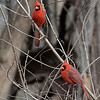 Cardinals in Tree_L8A4148_FB