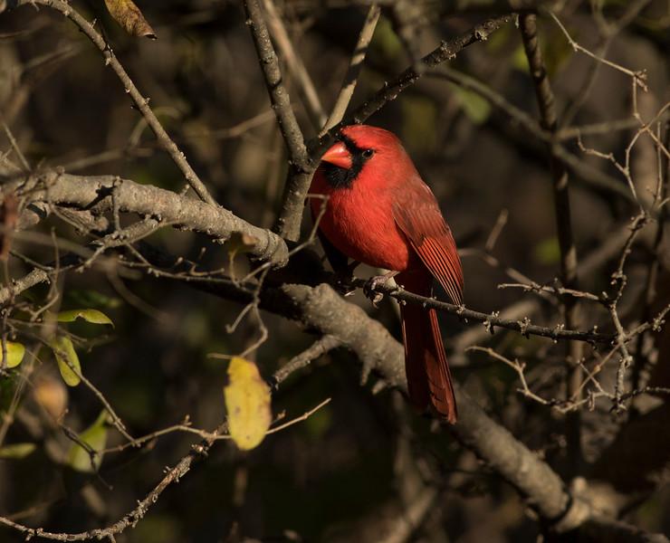 Cardinal Male_64A6152