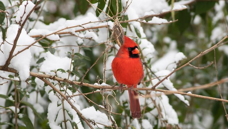 Cardinal in Snow_L8A4617-1