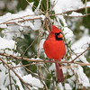 Cardinal in Snow_L8A4617-1