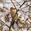 Red Bellied Woodpecker in Snow_L8A4749-1