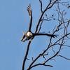 Eagle_64A6897-1_crop