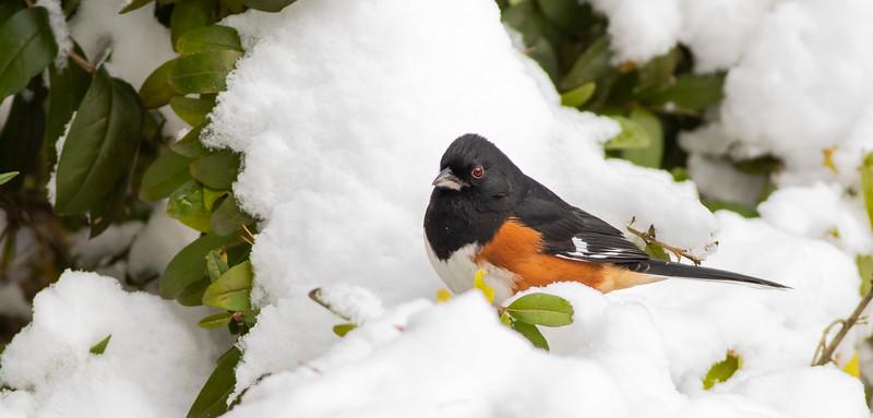 Eastern Towhee in Snow_L8A4760-1