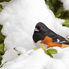 Eastern Towhee in Snow_L8A4760-1