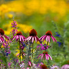 Coneflowers_MG_2221-1
