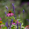 Coneflowers_MG_2219-1