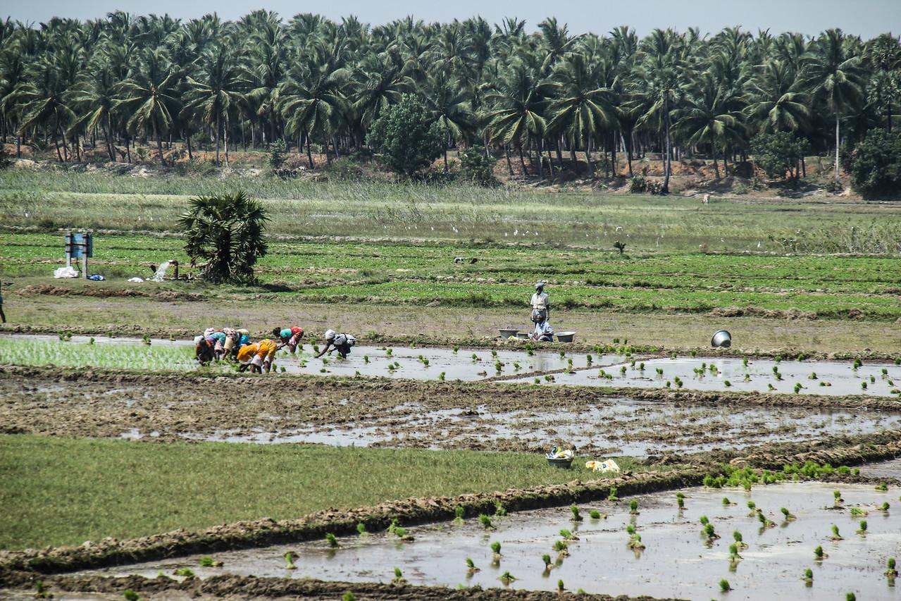 Tamil Nadu Rice Paddy