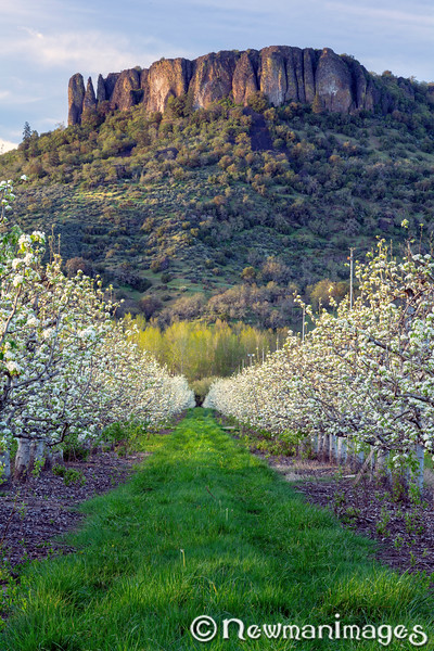 Pear Blossoms  & Table Rock