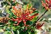 Fire Bush (Embothrium coccineum).  Also known as Notro.  Los Glaciares National Park (South Zone).  Southern Patagonia.  Santa Cruz province, Argentina.