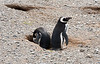 Male and female Magellanic Penguins (Spheniscus magellanicus) protecting their nesting burrow. Los Pingüinos Natural Monument.  Isla Magdalena.  Strait of Magellan.  North of Punta Arenas, Southern Patagonia, Chile.