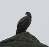 Andean Condor (Vulture gryphus). Near Laguna Armaga.  Torres del Paine National Park.  Southern Patagonia, Chile. Taken with an 800mm lens.