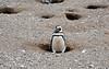 Magellanic Penguin (Spheniscus magellanicus) protecting its nesting burrow.  Los Pingüinos Natural Monument.  Isla Magdalena.  Strait of Magellan.  North of Punta Arenas, Southern Patagonia, Chile.