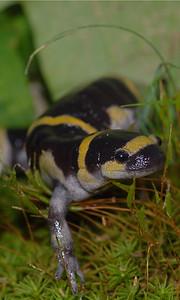 Ringed salamander (Ambystoma annulatum).  Daniel Boone National Forest, Missouri Photo - T. Luhring