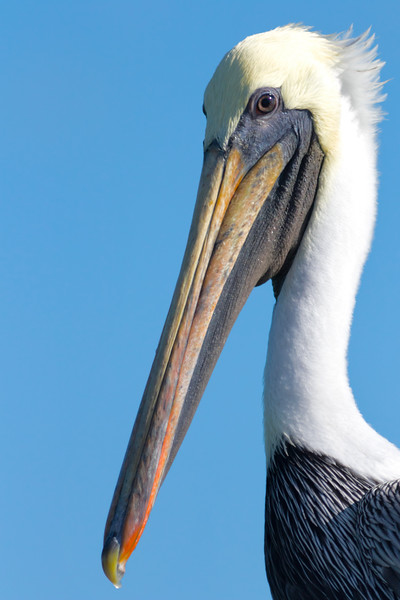 I Want My Picture Taken!- Adult Brown Pelican