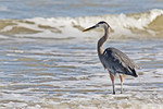 Great Blue Heron Fishing At the Beach