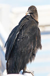 What Say You?- American Black Vulture