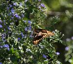 Swallowtail,sRGB16x14x300,002316