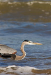 Great Blue Heron Popping Into the Shot Fishing