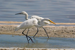 Great White Egret and White-Morph Reddish Egret