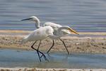 Great White Egret and White-Morph Reddish Egret