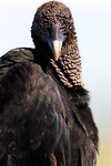 Welcome To My Tower- American Black vulture