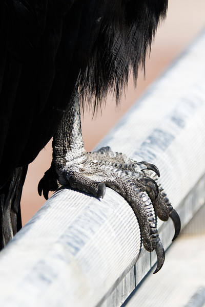 Black Vulture Foot