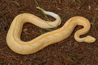 Albino canebrake rattlesnake