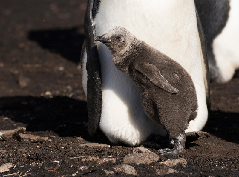 King Penguin, chick